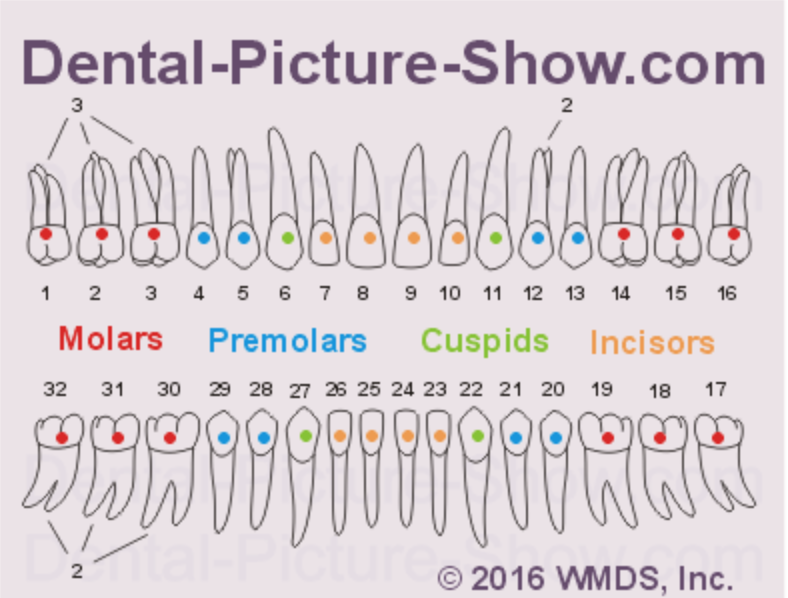 The number of canals per tooth